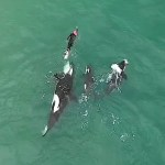 Drone Footage of Playful Pod of Orcas Swimming Alongside a Brave Woman at a New Zealand Beach