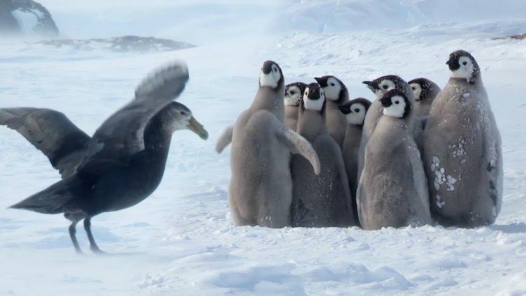fluffy baby emperor penguin