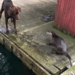 A Pair of Curious Dogs Ignore Their Human While Attempting to Play With a Couple of Mischievous Otters