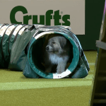 Happy-Go-Lucky Therapy Dog Makes a Hilarious Attempt to Run the Crufts Dog Show Agility Course