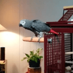 A Crotchety African Grey Parrot Orders Amazon Alexa to Stop Playing Frank Sinatra's 'New York, New York'