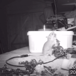 An Industrious Mouse Tidies Up a Retired Electrician's Tool Shed Each Night