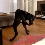 Bewildered Dog Has No Idea What to Do After He Finally Catches His Elusive Tail
