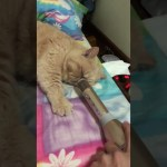 A Snoring Cat Hilariously Amplified With a Microphone