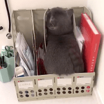A Clever Little Short-Legged Gray Cat Tries to Hide From the Veterinarian Inside a File Sorter on the Desk