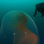 Divers Looking for a WWII Sunken Ship Unexpectedly Encounter Giant Gelatinous Egg Sac Full of Baby Squid