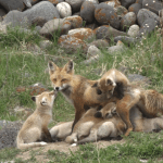 Resourceful Red Fox Cares for Her 13 Babies Alone After Car Accident Turned Her Into a Single Mother