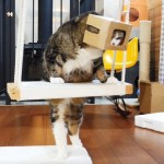 Maru the Cat Wears a Cardboard Box on His Head as He Wanders Around the House
