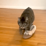 Silly Tabby Cat Wanders Around the House While Wearing One of His Human's Slipper on His Paw