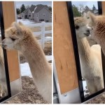 Alpaca Is Adorably Surprised by His Own Reflection