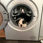 An Adorable Bulldog Puppy Climbs Inside the Washing Machine or Dryer Whenever It's Available to Him
