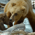 A Robotic Spy Bear Cub Attempts to Join a Family of Hungry Grizzly Bears for an Afternoon of Fishing