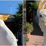 Boisterous Cockatoo Hilariously Imitates Cats and Dogs
