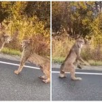 A Pair of Gorgeous Lynx Angrily Confront Each Another in the Road on a Beautiful Fall Day in Palmer, Alaska