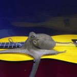 A Curious Octopus Investigates an Acoustic Guitar