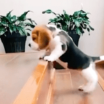A Teeny Tiny Beagle Puppy Conquers the Stairs