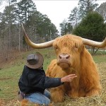 Farmer Talks About Bovine Respect While Grooming an Enormous Long-Horned Scottish Highland Cow