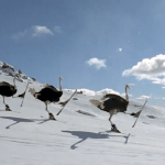 Talented Ostriches on Skis Perform Triple Jumps and Other Tricks in an Ad for the Japan Snow Project