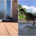 Man Adorably Compares the Sound of His Pet Goose's Feet As She Runs Across Different Surfaces