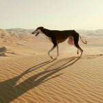 Saluki, A Nimble Arabian Desert Dog That Runs Fast Enough to Catch a Gazelle or a Vehicle Going 60 MPH