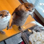 A Pair of Curious Pet Otters Are Utterly Baffled by Their Human's Popcorn Popper As It Pops Popcorn