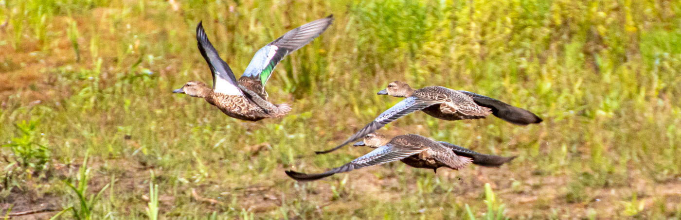 Blue-winged Teal at Seney NWR