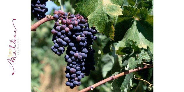 Cepa pinotage vino Sudáfrica