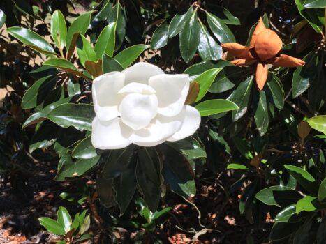 Spring walk 1 magnolia