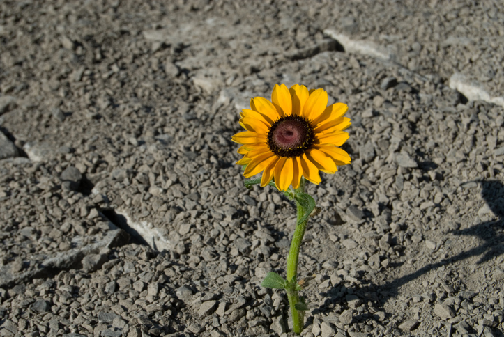Sunflower on road, Laura Cooke Consulting, Scotch Creek BC