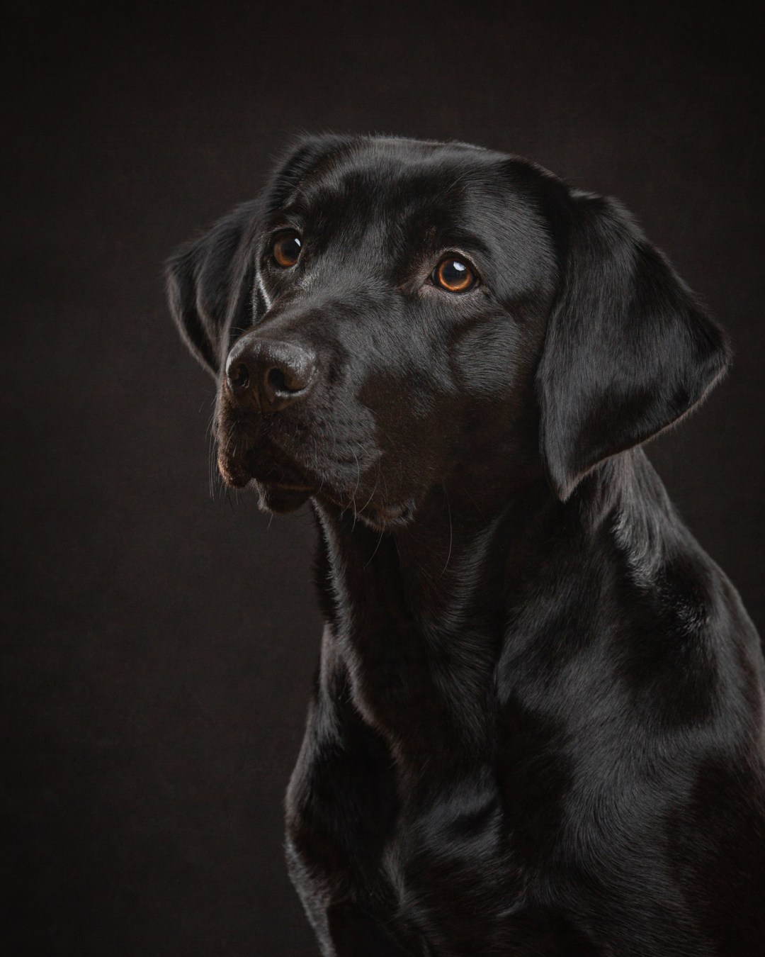 black labrador headshot pet photography