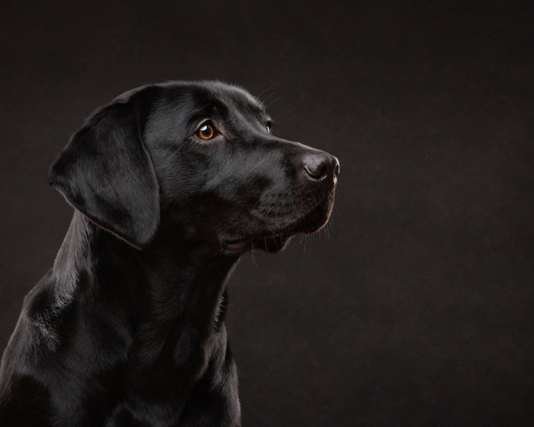 black, labrador, pet photography