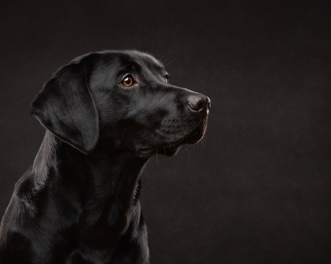 black, labrador, pet photography