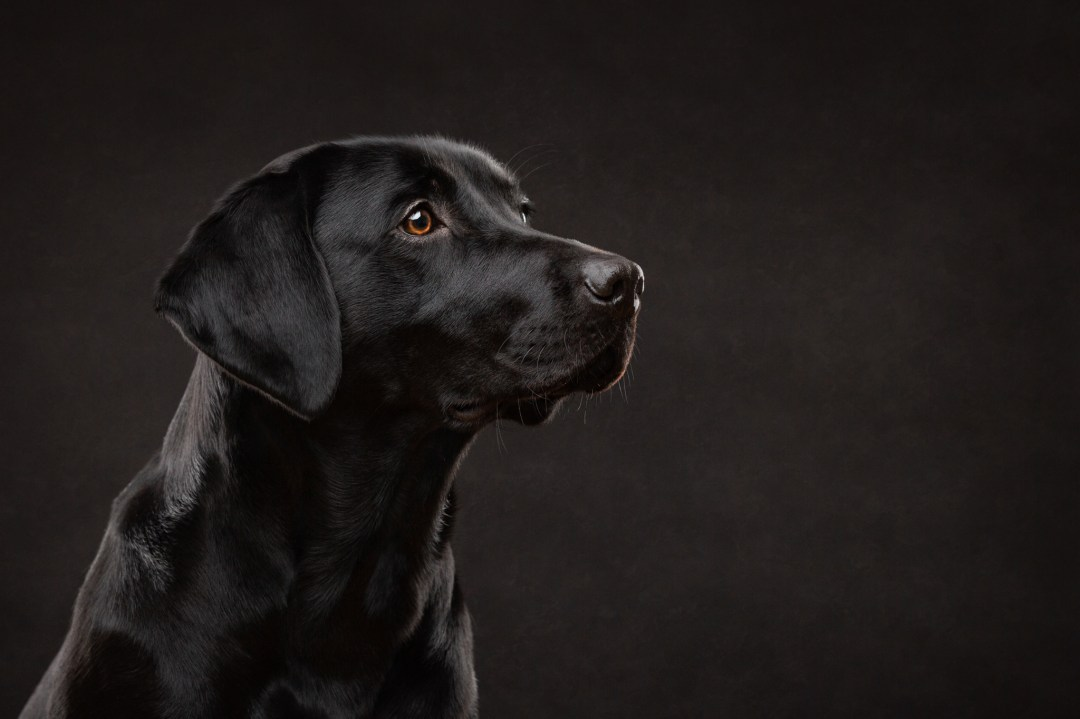 pet photography, black labrador, headshot