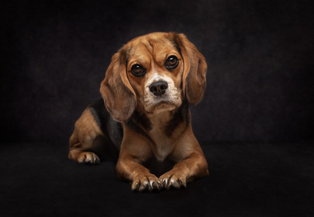 beaglier, pet photography, Cambridgeshire