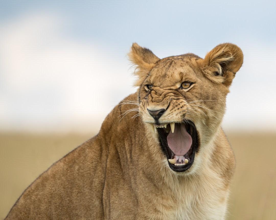 lioness, wildlife photography