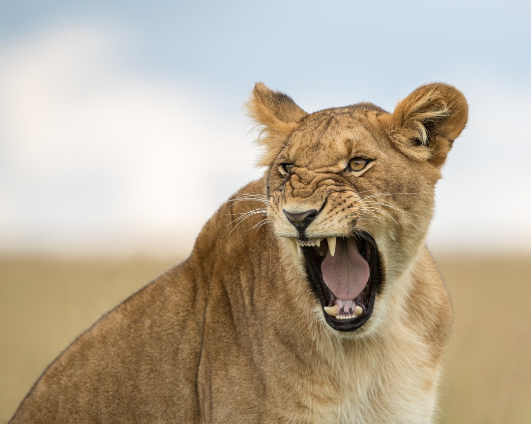 lioness, wildlife photography