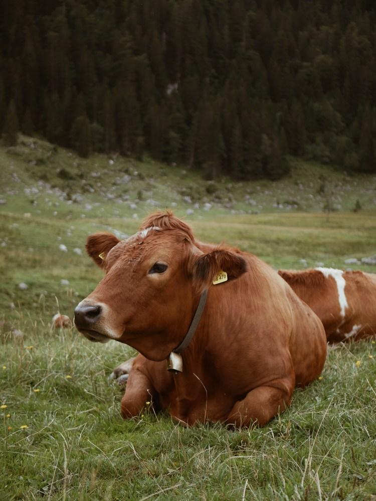 Kuh auf der Weide Schliersee