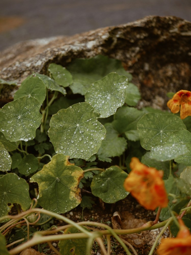 Kapuzinerkresse mit Wasserperlen