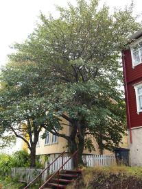 Akureyri: So ein richtiger Baum. Seltener Anblick.