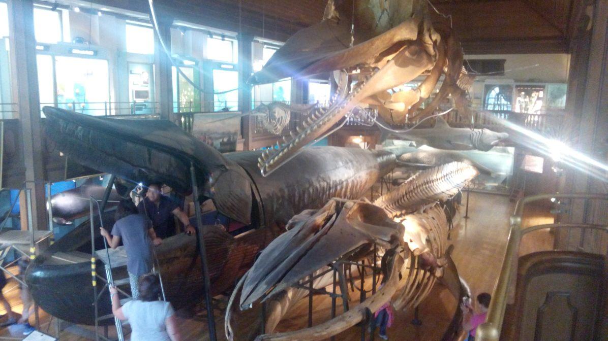 Ein ausgestopfter, präparierter Wal, in den man sogar hinein klettern kann