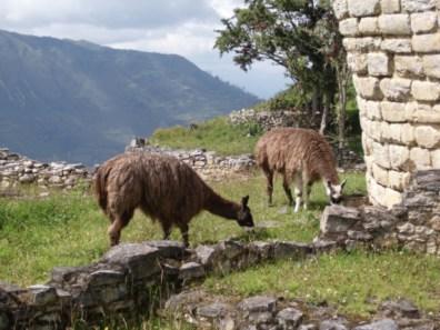 Lamas in der Ruine