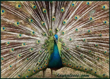 The proudest peacock