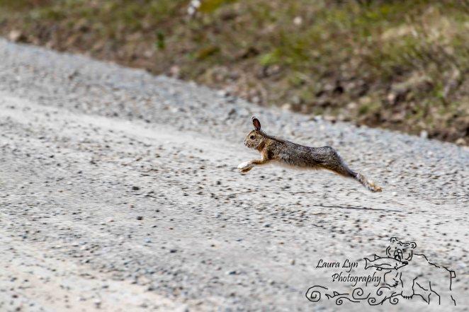 BLOGSnowshoe Hare Denali National Park May 20 2016