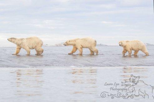 polar-bear-kaktovik-september-19-2-of-1-watermark
