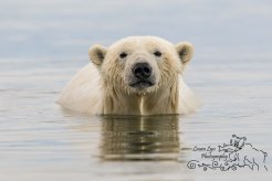 polar-bear-kaktovik-september-22-5-of-1-watermark-blog