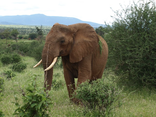 Elephant - One of The Big Five