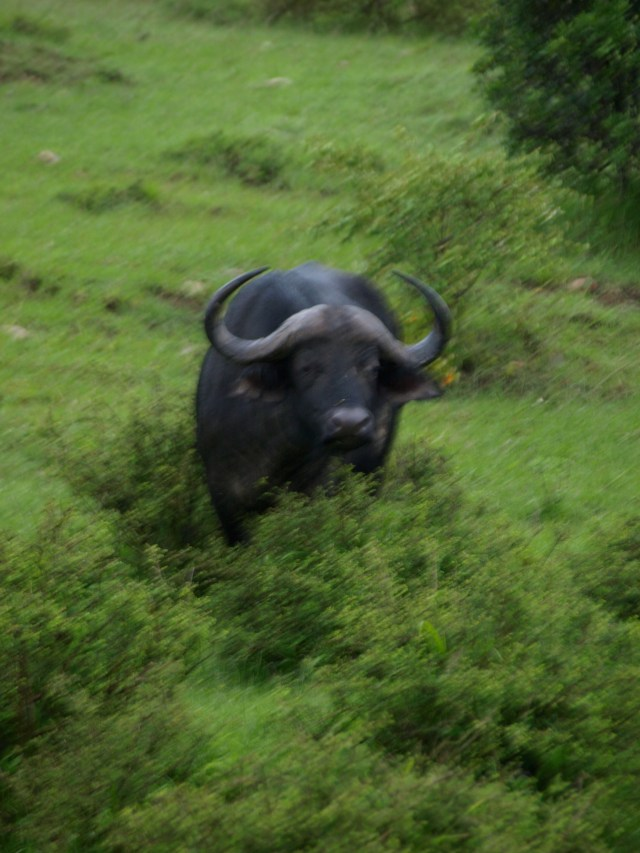 The Most Dangerous of the Big Five, the Buffalo