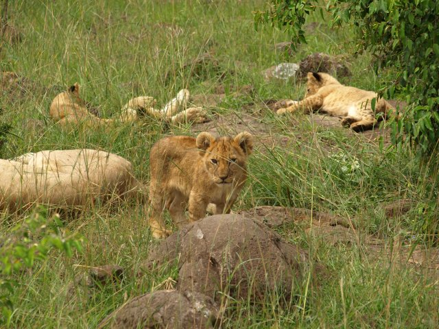 A Pride of Lions, with their cubs
