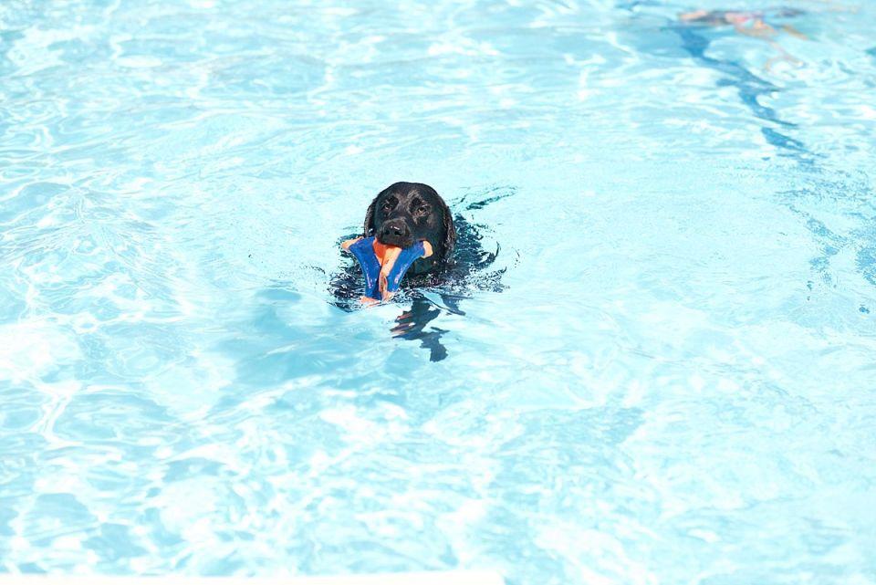labs, labrador, retriever, black, chocolate, swim, pool, rescue, richmond, virginia, dogs