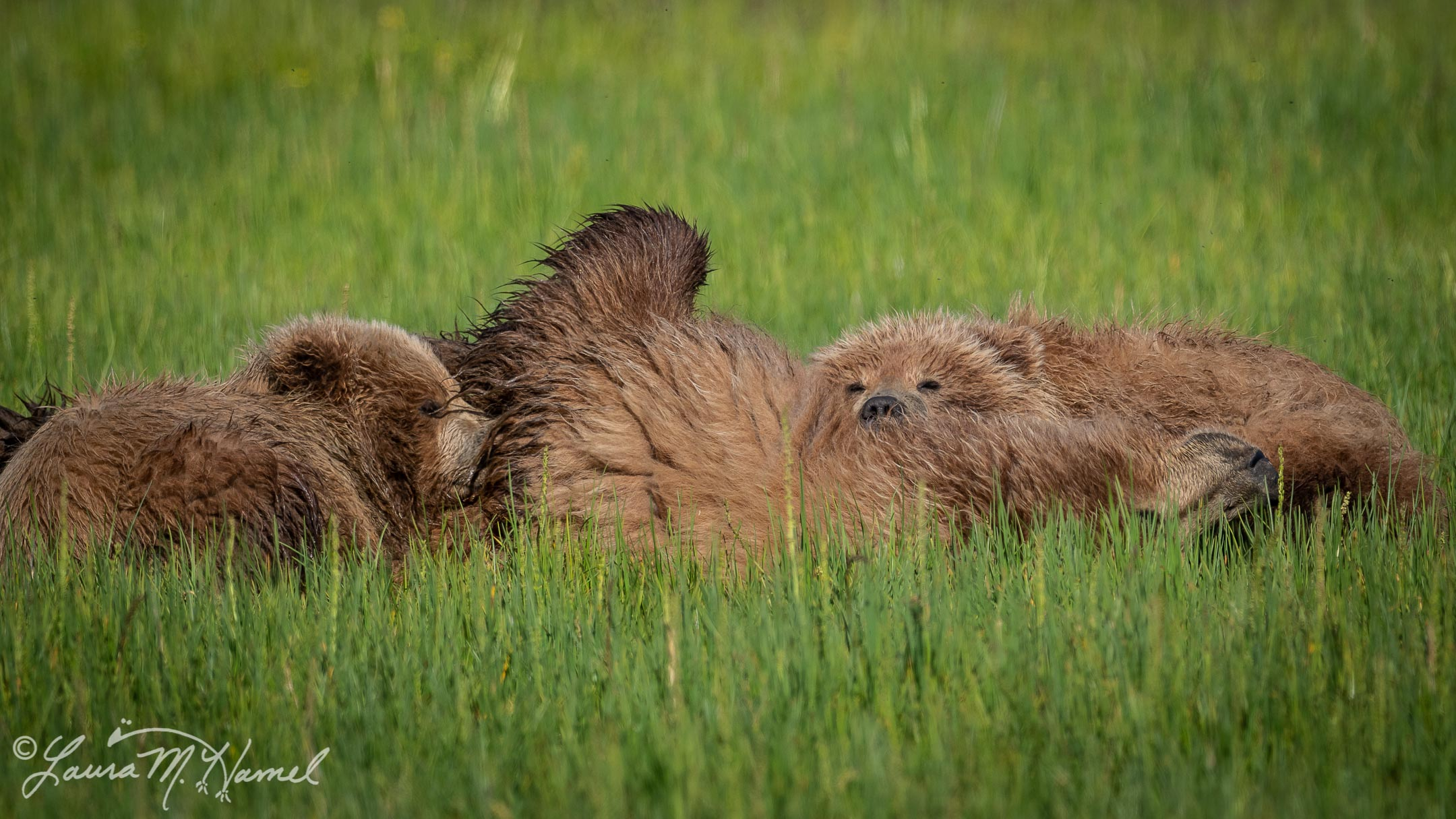 Bears of Silver Salmon Creek. Crimp-Ear and Cubs